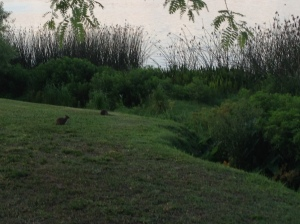 There were some bunnies out by the lake this morning during the race!